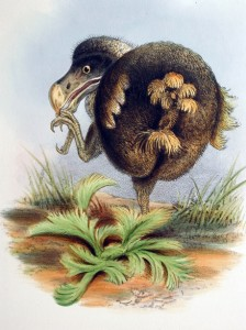 Dodo from W.J. Broderip's 1862 report in Transactions of the Zoological Society of London