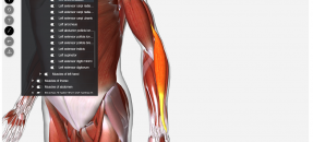 Screenshot of Access Medicine Human Anatomy Model, presenting left forearm
